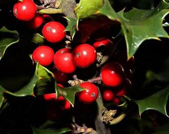 40 ENGLISH HOLLY Ilex Aquifolium aka European Common or Christmas Holly Evergreen Tree Shrub Berry Seeds