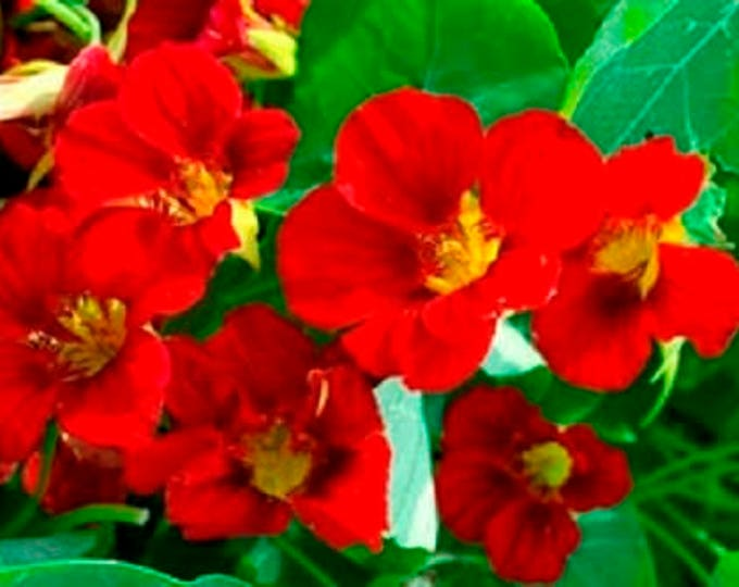 25 Dwarf RED EMPRESS NASTURTIUM Tropaeolum Nanum Hummingbird Flower Seeds