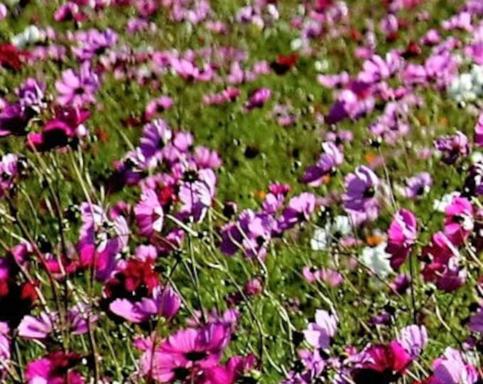 1000 PEPPERBOX POPPY MIX Papaver Somniferum Mixed Colors Red Violet Flower Seeds
