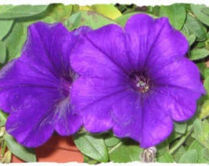 100 PURPLE PETUNIA Flower Seeds *Combined S/H