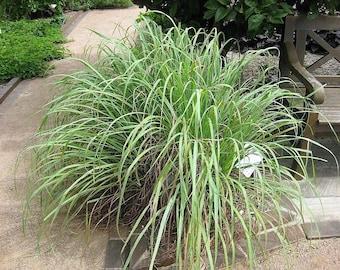 100 LEMONGRASS East Indian Lemon Grass Fragrant Ornamental Edible Cymbopogon Flexuosus Seeds