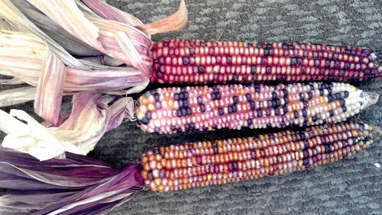 15 Medium Mixed Colors Glass Gem Corn Ornamental Edible Zea Mays