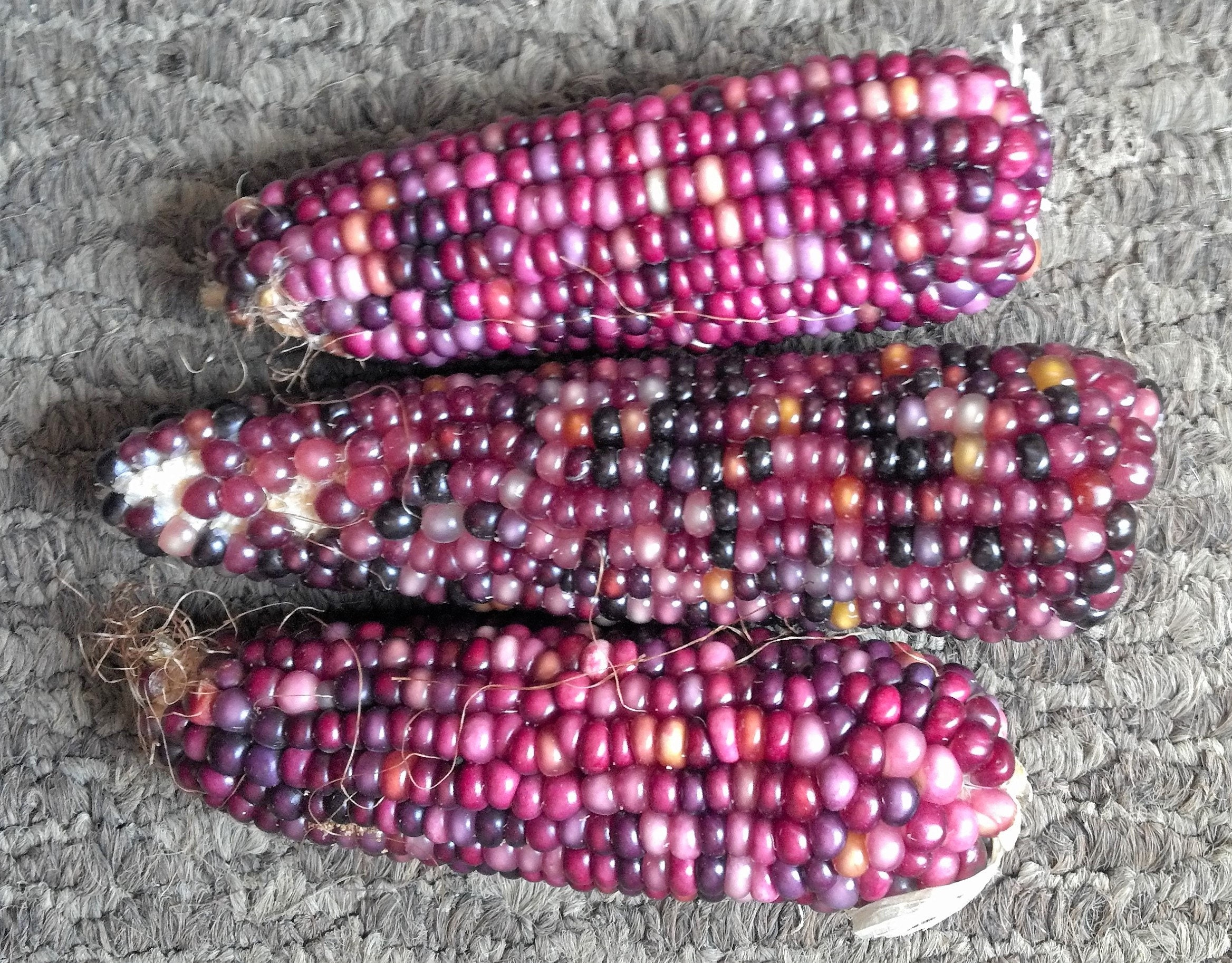 20 Mini Purple Glass Gem Corn Miniature Ornamental Edible Zea Mays