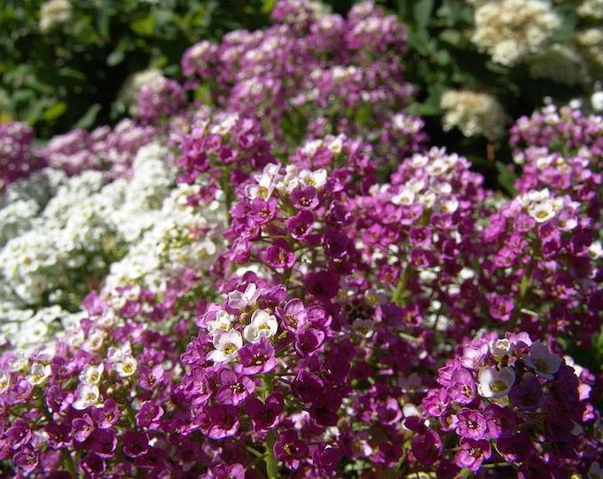 500 Sweet ALYSSUM ROYAL CARPET Lobularia Maritima Flower Seeds