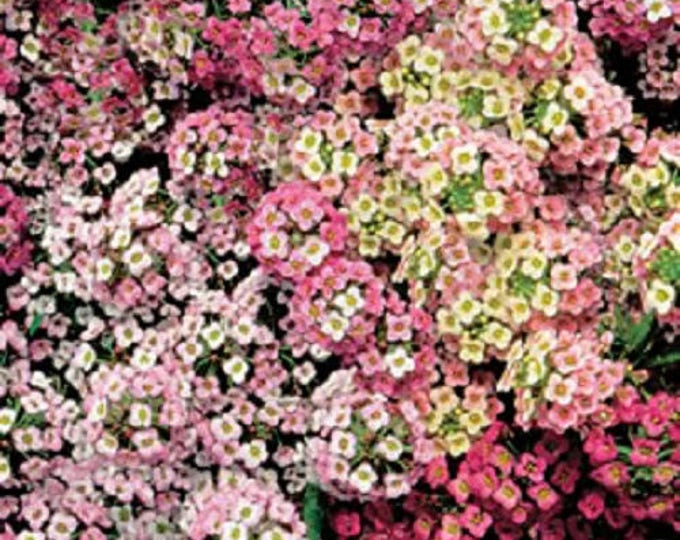500 Sweet ALYSSUM PASTEL CARPET Mix Lobularia Maritima Flower Seeds *Flat Shipping