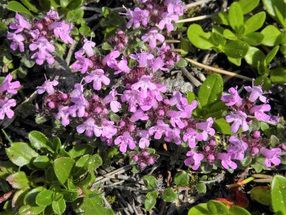 500 Seeds Seeds Thymus pulegioides
