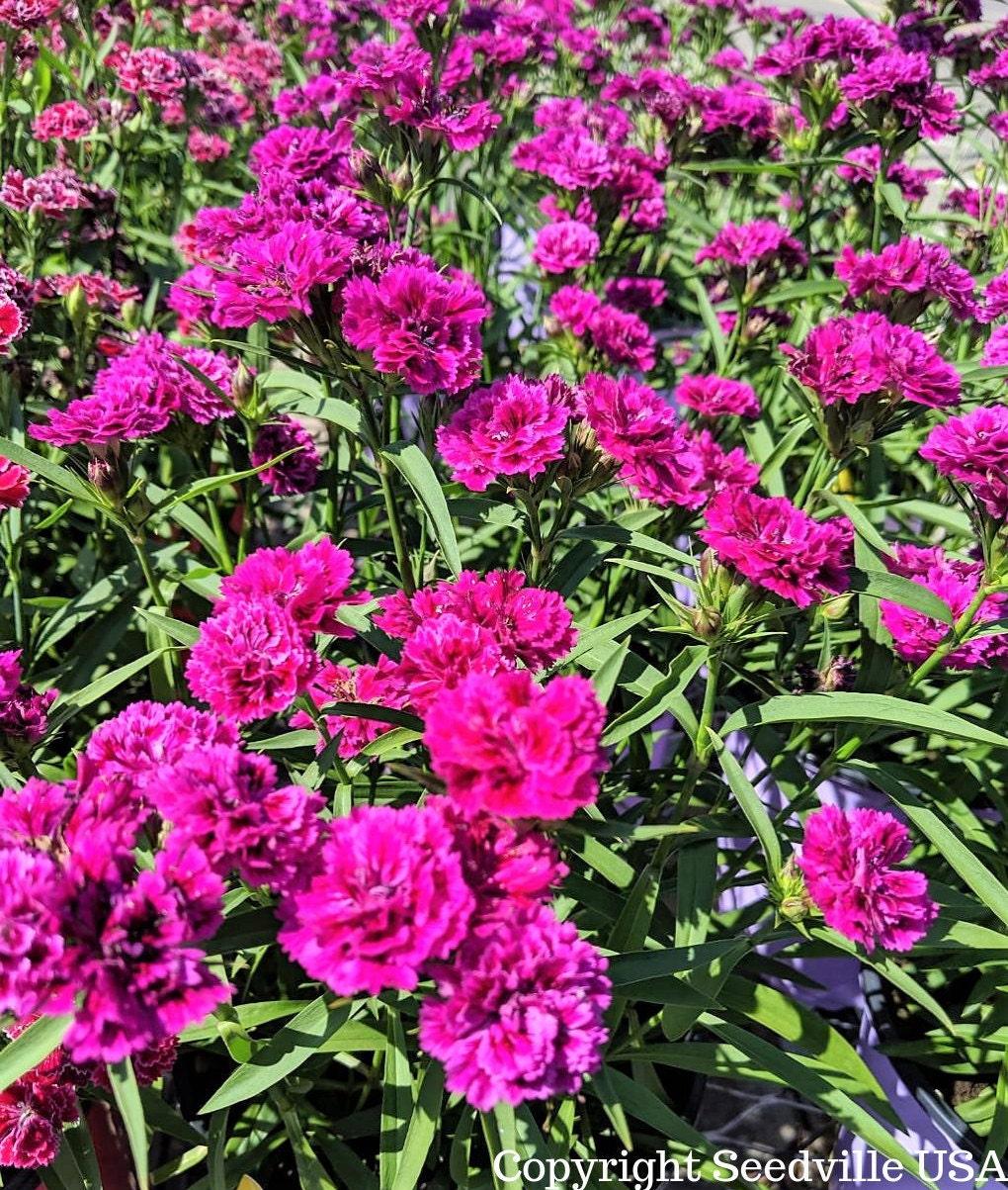für ca 8-10 Pflanzen Ziermais stars /& stripes  Samen Saatgut Beet Blume Aussaat