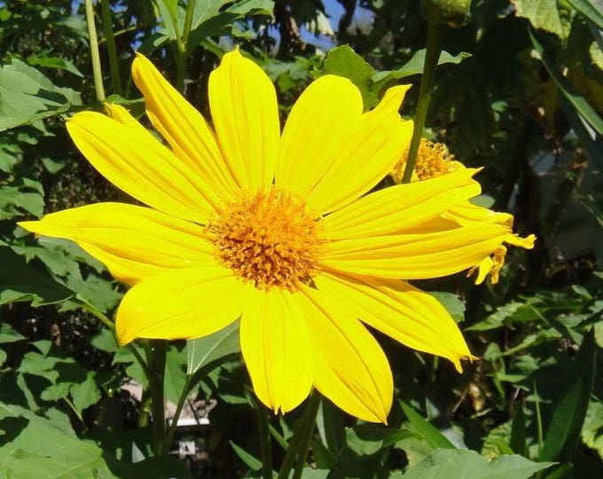 25 YELLOW Torch MEXICAN SUNFLOWER Tithonia Speciosa Flower Seeds *Flat Shipping