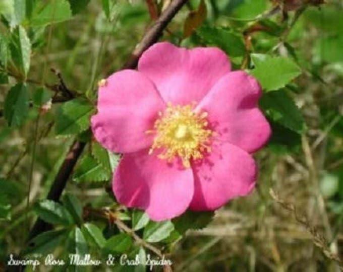25 PINK SWAMP ROSE Rosa Palustris Flower Shrub Bush ( Average - Wet Soil ) Seeds *Flat Shipping