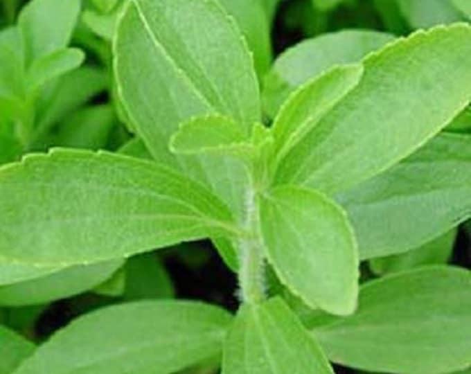 50 STEVIA ( Sweetleaf / Sweet Leaf / Sugarleaf ) Stevia Rebaudiana Sugar Flower Herb Seeds