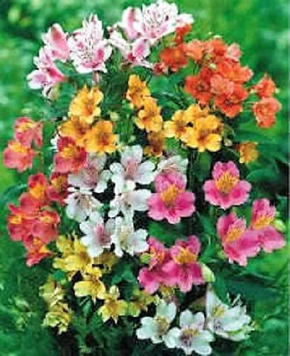 20 Peruvian Lily Mix Alstroemeria Dr Salters Mixed Colors Etsy