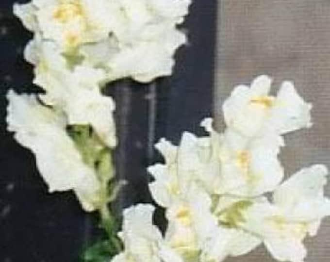 250 WHITE SNOWFLAKE SNAPDRAGON Antirrhinum Majus Flower Seeds *Flat Shipping