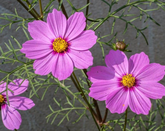 300 DWARF PINK COSMOS Cosmos Bipinnatus Flower Seeds