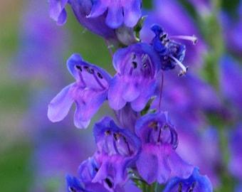 300 Blue ROCKY MOUNTAIN BEARDTONGUE Penstemon Strictus Flower Seeds