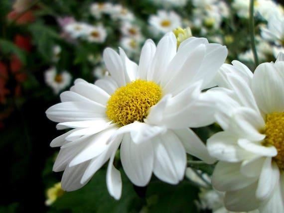 Gift 1000 DWARF SHASTA DAISY Chrysanthemum Flower Seed