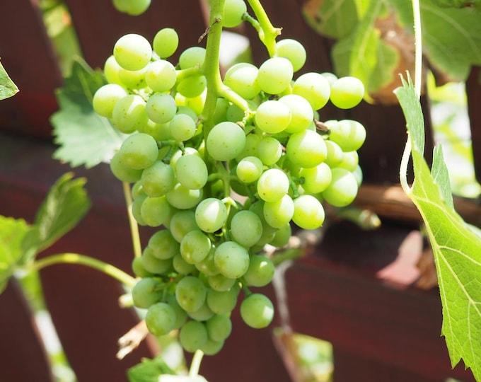 50 GREEN (Dessert / Table) GRAPE Vitis Vinifera Fruit Vine Seeds