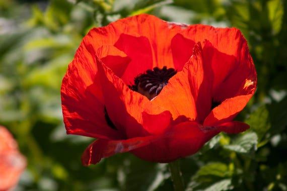 1000 Red Turkish Poppy Heirloom Papaver Somniferum Flower Etsy