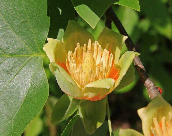 15 TULIP POPLAR TREE Yellow Flower Liriodendron Tulipifera Whitewood Seeds