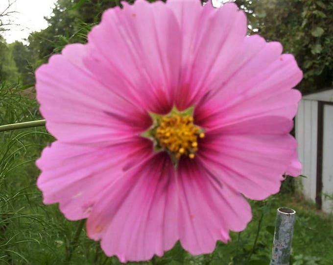 300 GLORIA COSMOS Bipinnatus 2-Tone Pink Fast Growing Flower Seeds *Flat Shipping