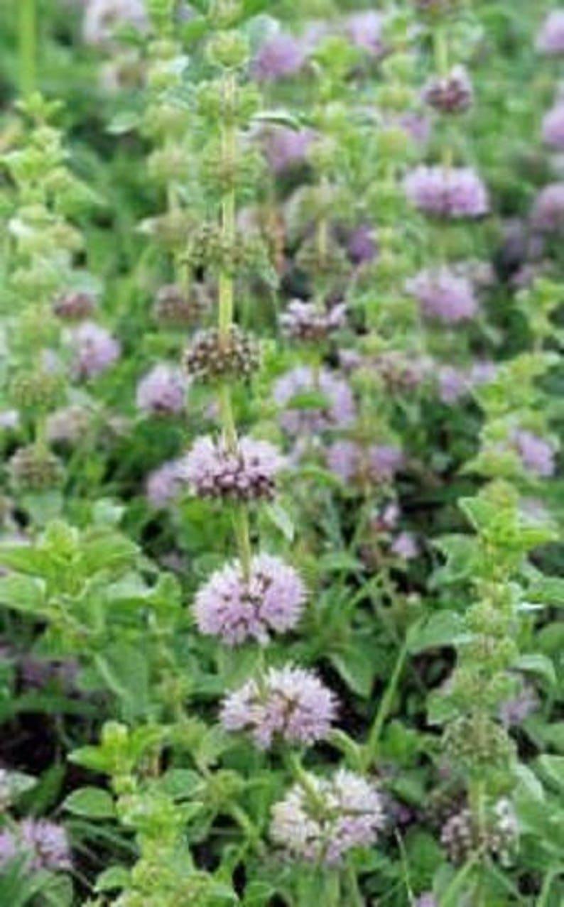 200 PENNYROYAL MINT Mentha Pulegium Herb Flower Seeds