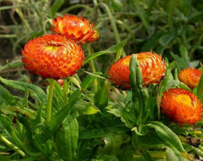 100 ORANGE DOUBLE STRAWFLOWER Helichrysum Monstrosum Flower Seeds
