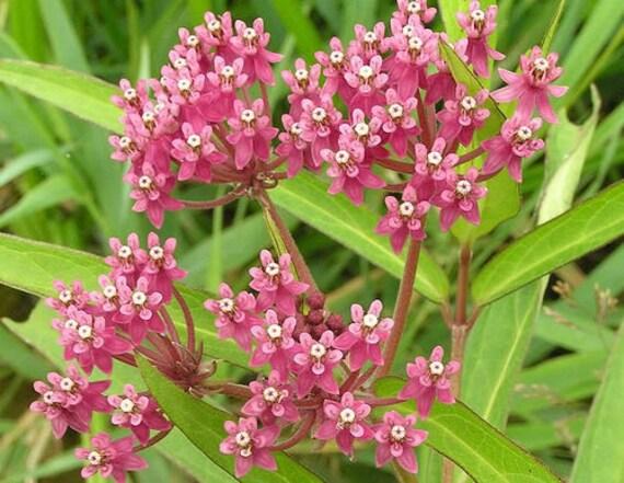Blumensamen 100 Pink Gemeinsame Seidenpflanze Asclepias Syriaca Monarchs