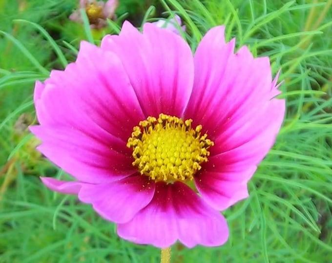 150 Pink COSMOS RADIANCE Bipinnatus Flower Seeds