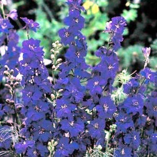 100 Blue Spire Larkspur Delphinium Consolida Ambigua Flower Seeds