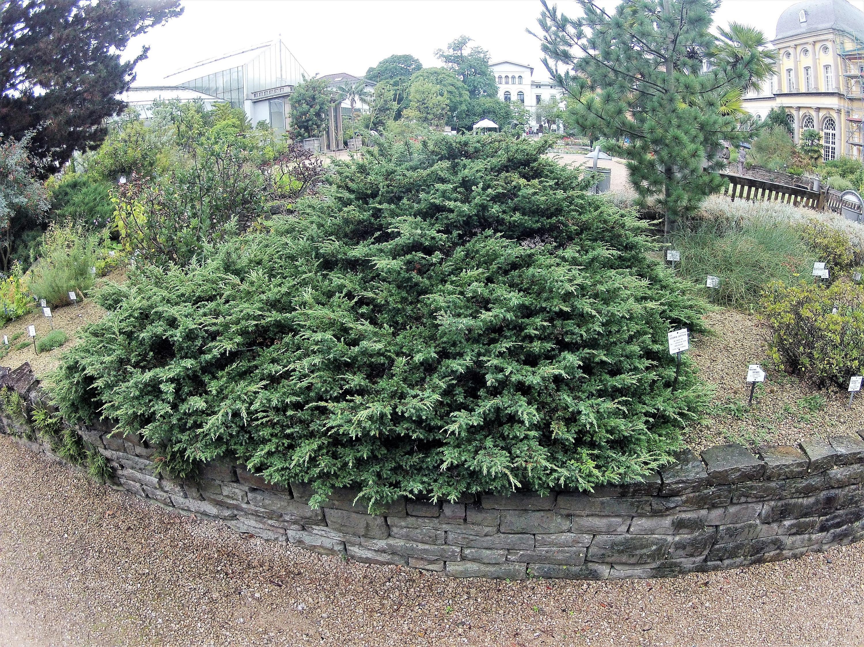 60 Organic Seeds COMMON JUNIPER Juniperus Communis Tree Shrub 20 Blue Berries