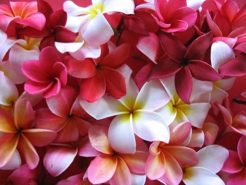 10 MIXED COLORS PLUMERIA Seeds - Lei Flower Frangipani Mix Fragrant Shrub Small Tree Pink Red Yellow White Peach Two Tone *Flat Shipping photo