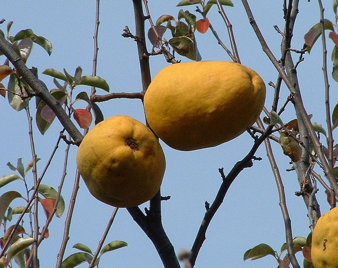 20 Chinese QUINCE FRUIT TREE Chaenomeles Sinensis Fruit Flower Seeds Thornless