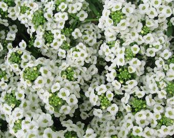 1000 WHITE SWEET ALYSSUM Carpet Of Snow Lobularia Maritima Flower Seeds