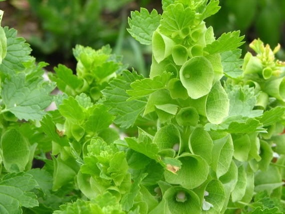 150 BELLS OF IRELAND Moluccella Laevis Shell Flower Seeds Free Gift /& Comb S//H
