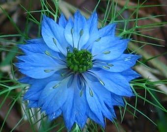 500 LOVE IN A MIST Miss Jekyll Blue ( Fennel Flower ) Nigella Damascena Flower Seeds