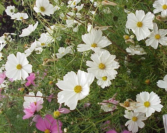 350 PURITY WHITE COSMOS Cosmos Bipinnatus Flower Seeds