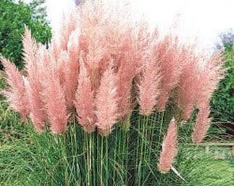 200 Ornamental PINK PAMPAS GRASS Cortaderia Selloana Rosea Seeds