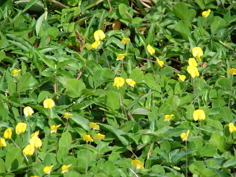 5 Perennial Peanut Pinto Ground Cover Yellow Flower Arachis Pintoi