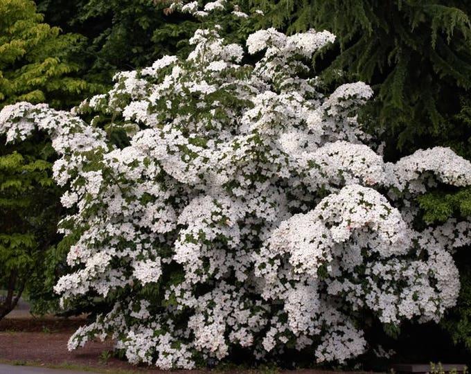 5 Flowering WHITE KOUSA DOGWOOD Cornus Kousa Tree Seeds