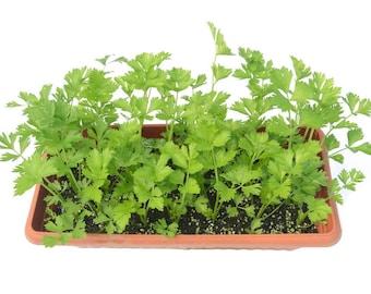 2000 CUTTING LEAF CELERY Apium Graveolens Soup Vegetable Herb Seeds *Flat Ship