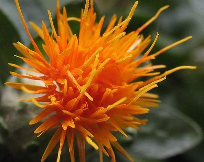 300 SAFFLOWER Saffron Carthamus Tinctorius Yellow Orange Flower Seeds *Flat Shipping
