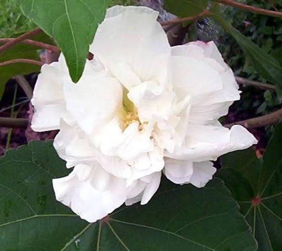 hibiscus Althéa Syriacus rose  50 graines