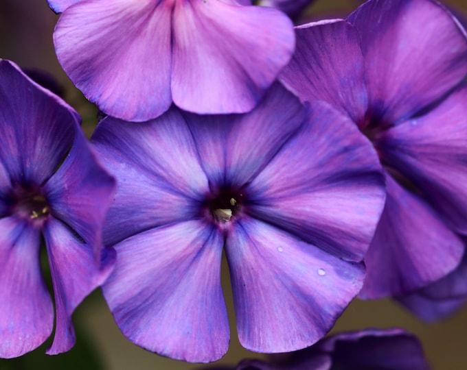 250 Dwarf BEAUTY BLUE PHLOX Drummondii Nana Compacta Fragrant Violet Blue Flower Seeds *Flat Shipping