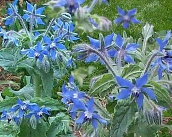 100 Blue Star BORAGE HERB Borago Officinalis Flower Seeds