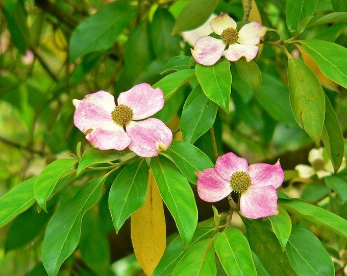 5 Flowering PINK DOGWOOD Cornus TREE Seeds