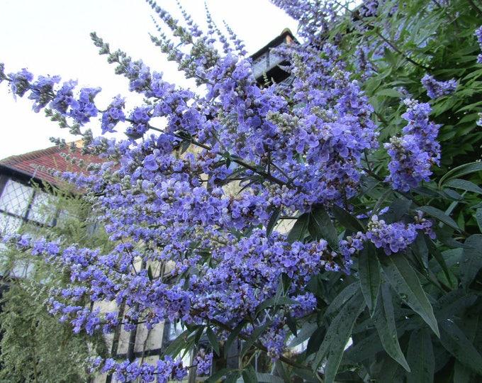 25 CHASTE BERRY TREE Vitex Agnus Castus Monk's Pepper Purple Fragrant Flower Seeds *Comb S/H