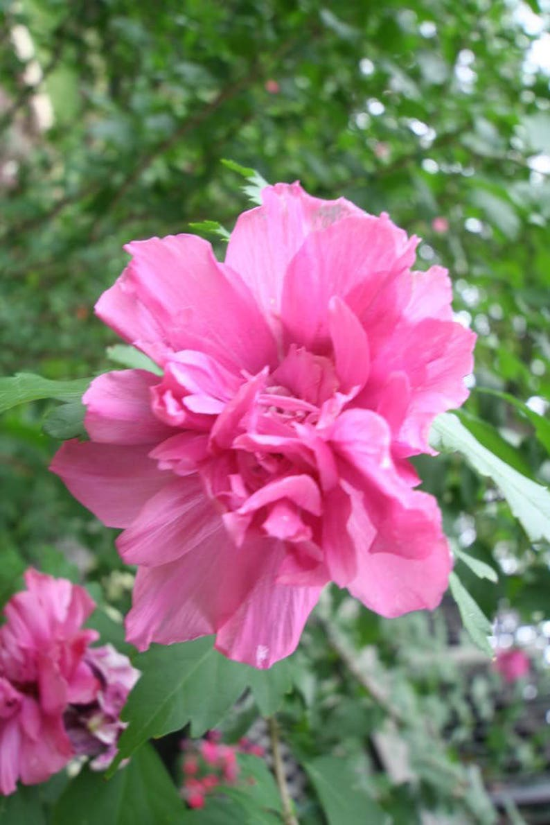 50 Dark Pink Double Rose Of Sharon Hibiscus Syriacus Flower Etsy