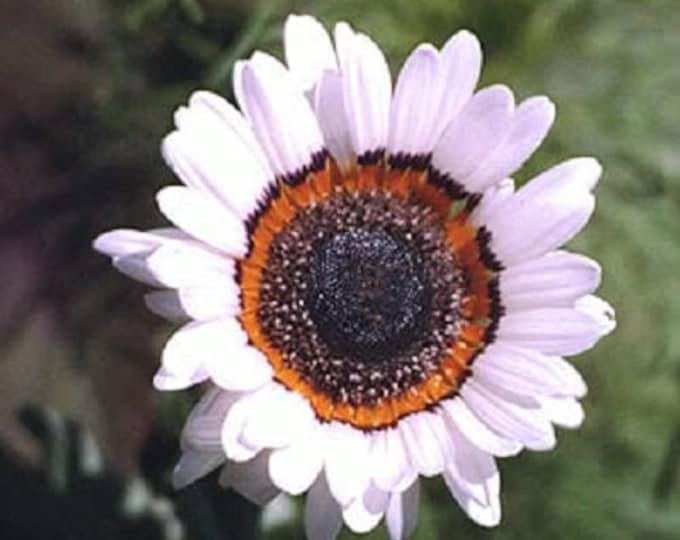 50 WHITE Zulu Prince CAPE DAISY Venidium Fastuosum Alba Flower Seeds