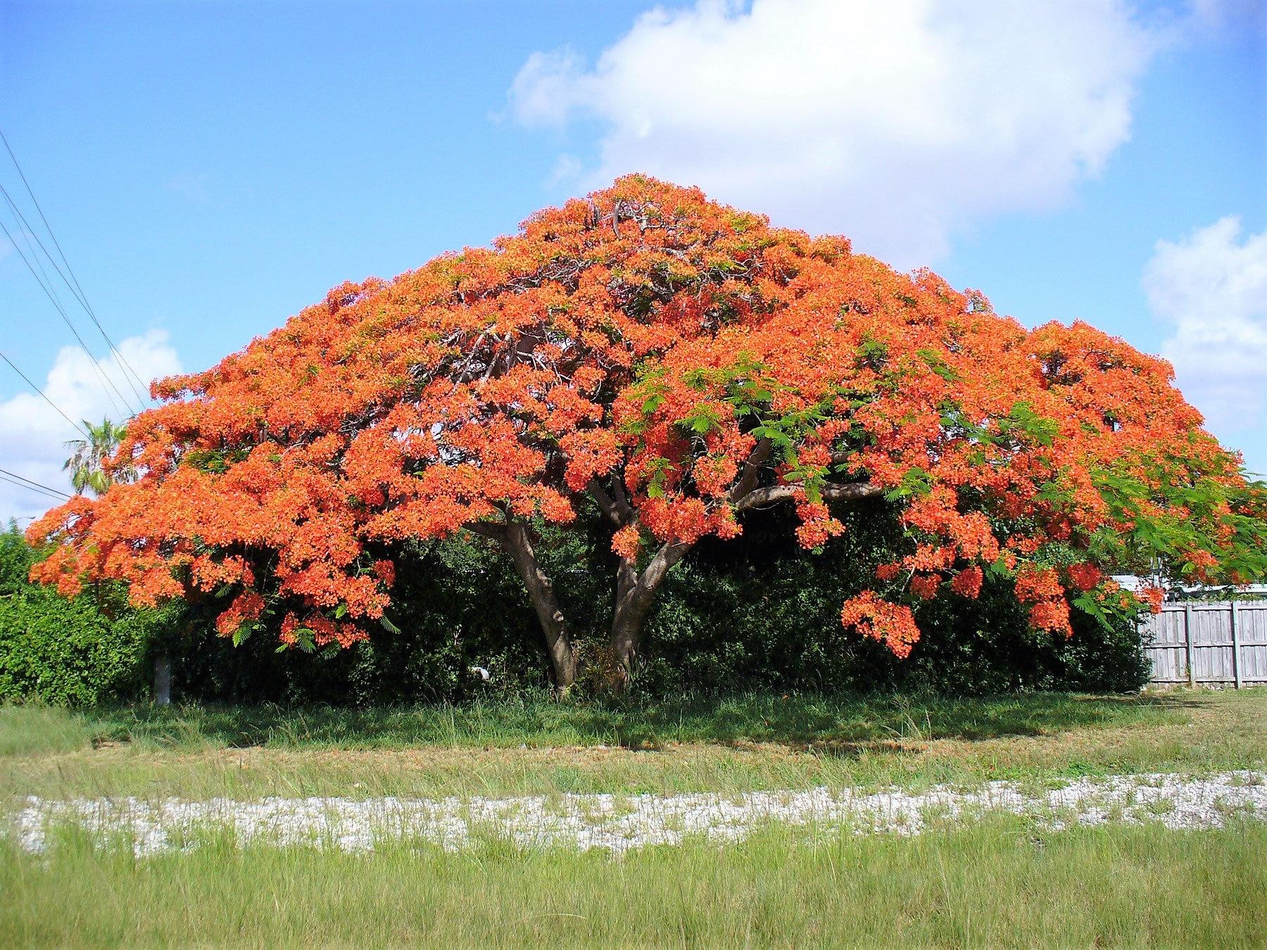 Royal Poinciana//Flamboyant ornamental tree 10 seeds Delonix regia