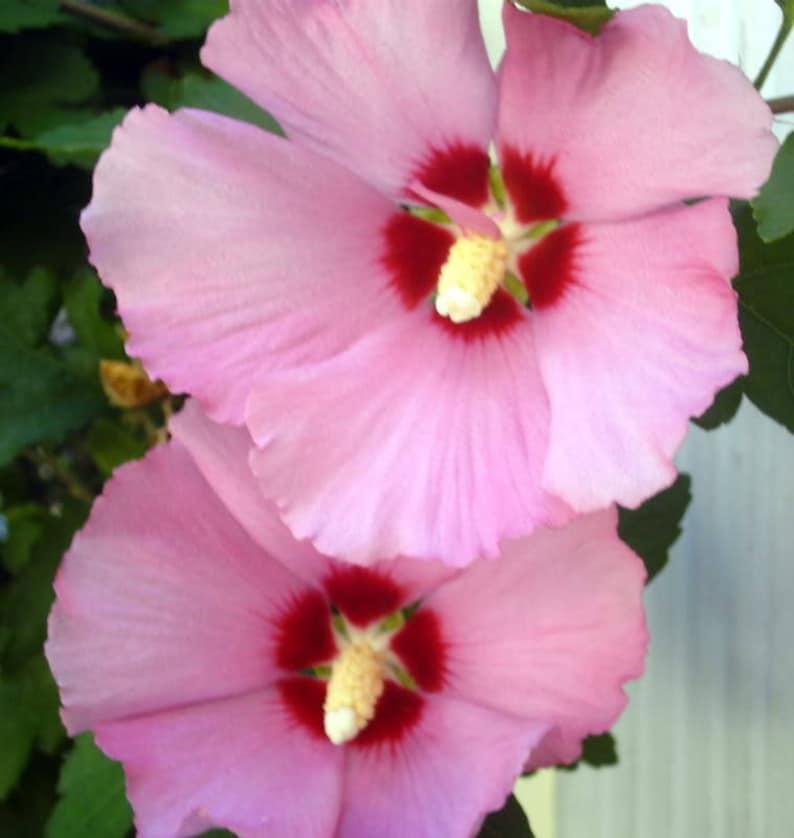 50 Dark Pink Rose Of Sharon Hibiscus Syriacus Flower Tree Bush Etsy