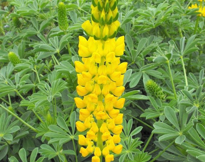 50 GOLDEN LUPINE Lupinus Densiflorus Yellow Hummingbird Flower Seeds *Flat Shipping